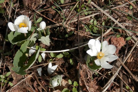 Photo of bloodroot (Sanguinaria canadensis) in bloom