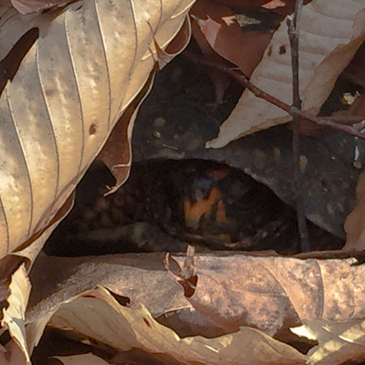 Photo of a box turtle emerging from her hibernaculum