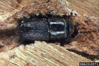 Photo of southern pine beetle (Dendroctonus frontalis)