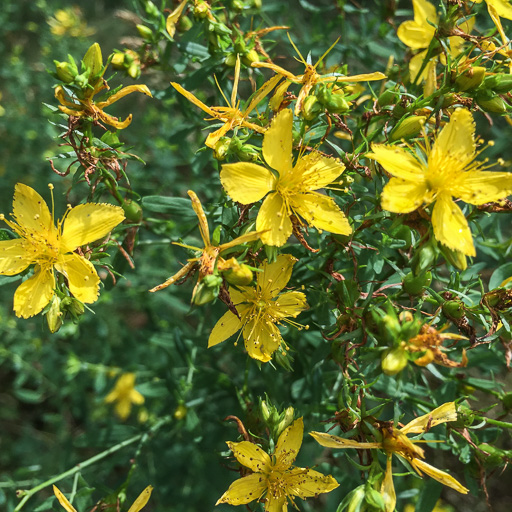 Photo of Saint John's wort (Hypericum perforatum) in bloom