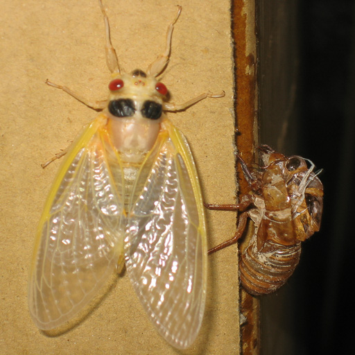 Photo of adult Magicicada and exuvia just after final molt