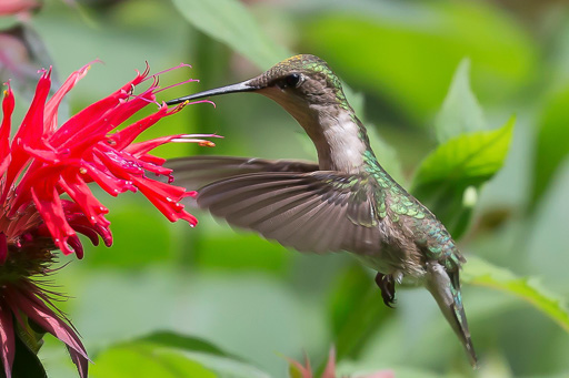 Photo of hummingbird in hovering in front of flowers
