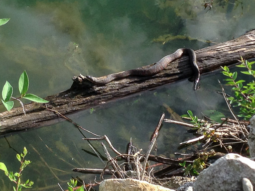Photo of a northern water snake (Nerodia sipedon) sunning on a log