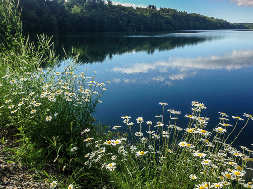 Photo of daisies and reservoir  from Nichols Street causeway