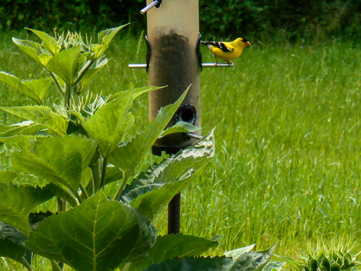 Photo of male American goldfinch on birdfeeder