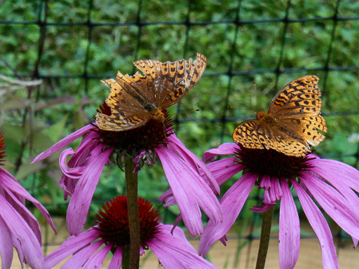 Photo of two great spangled fritillary (Speyeria cybele) butterflys on echinacea flowers