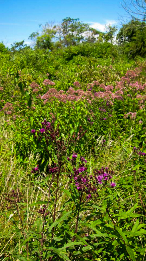 Photo of an overgrown meadow in bloom in late summer