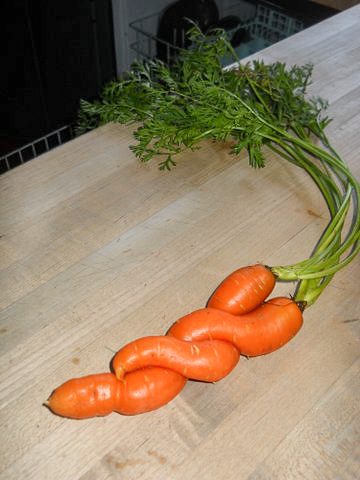 Photo of a pair of carrots that grew entwined with one another