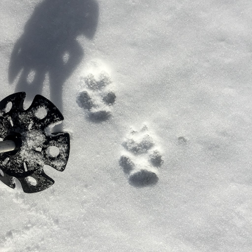 Photo of two coyote footprints in snow with ski-pole basket for scale