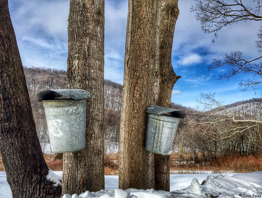 Photo of sugar maple trees with attached sap buckets overlooking a snow-covered lake
