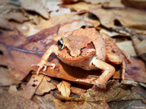 Photo from front of a one-eyed wood frog