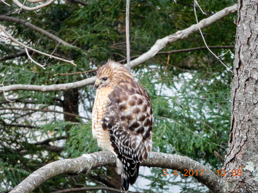 Photo of a puffed-up hawk perched in on a pine bough