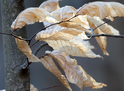 Photo of an American beech twig in winter with attached dry leaves