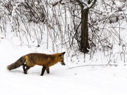 Photo of a red fox in snow