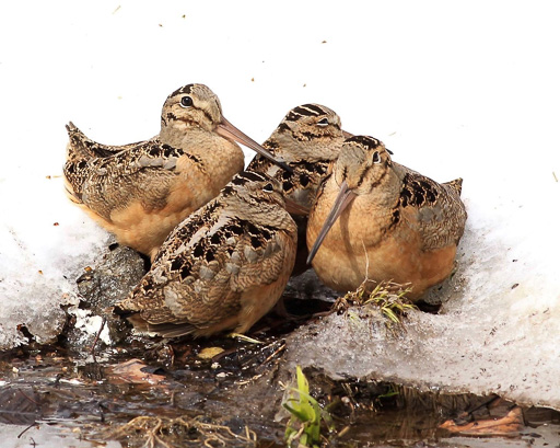 Photo of four woodcocks huddled in snow in NYC's Central Park