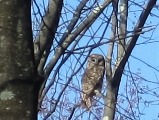 Photo of a barred owl perched in a tree