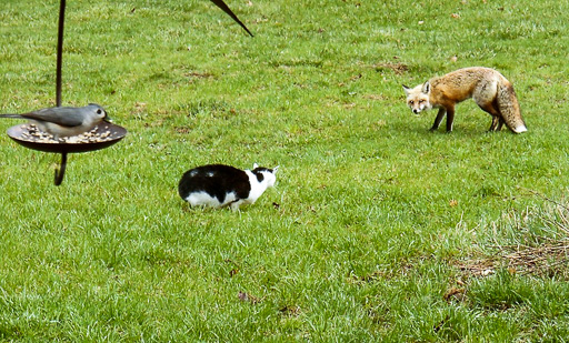 Photo of a red fox and a house cat warily eyeing one another