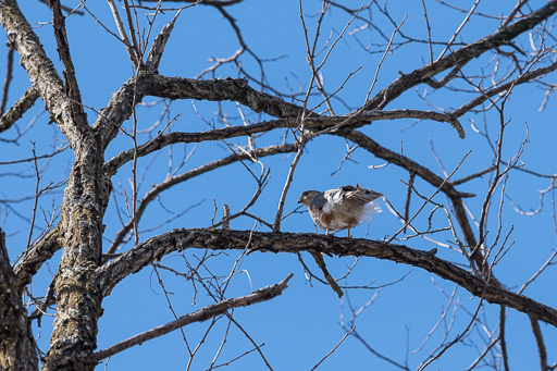 Photo of a sharp-shinned hawk perched on a tree limb