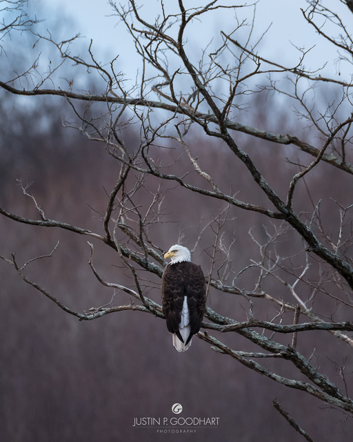 Photo of a bald eagle perched dramatically on a tree limb