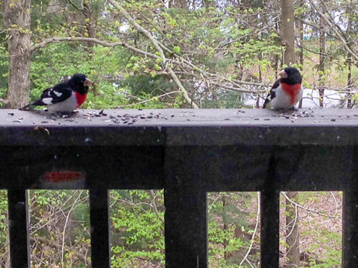 Photo of two male rose-breasted grossbeaks on porch railing