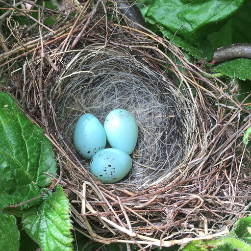 Photo of songbird nest with clutch of three speckled blue eggs