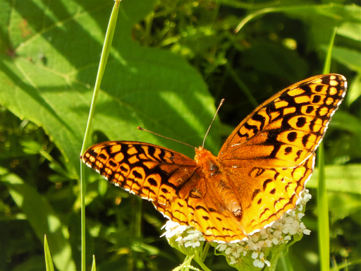 Photo of a great spangled fritillary