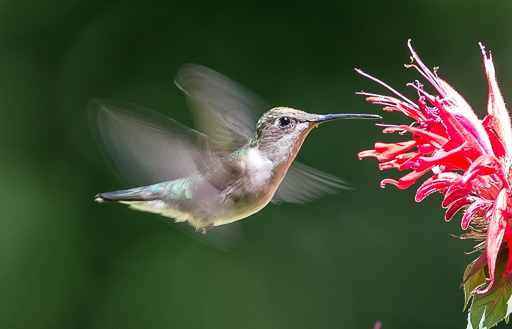 Photo of a hummingbitd hovering in front of bright pink beebalm blossoms
