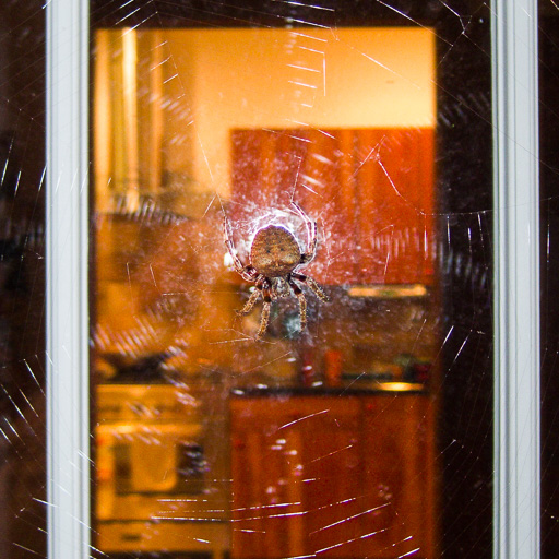 Photo of a cat-faced spider (Araneus gemmoides) in the center of a web that spans a doorway