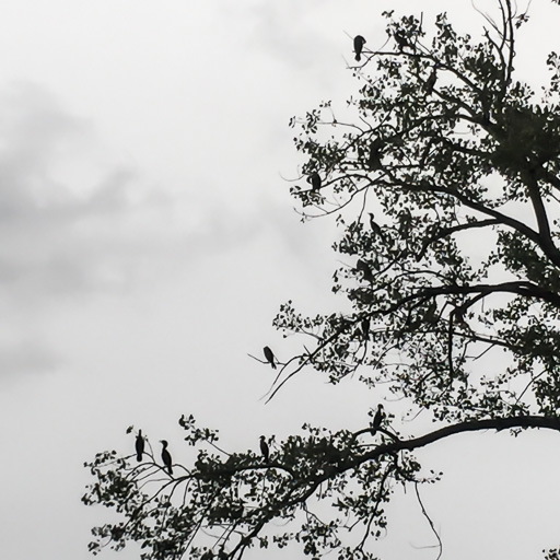Photo of a group of double-crested cormorants (Phalacrocorax auritus) roosting in a tree