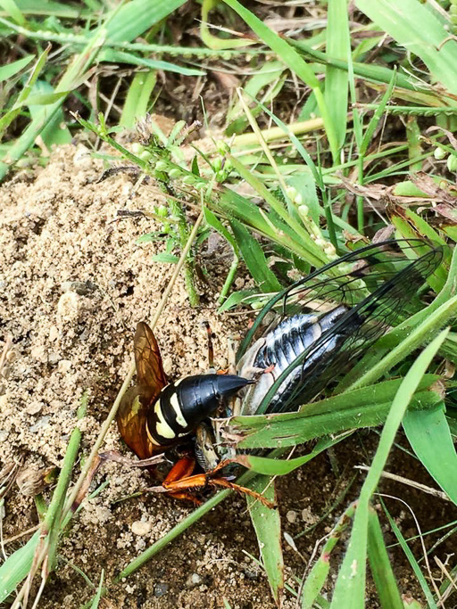 Photo of an eastern cicada killer (Sphecius speciosus) draggin a paralyzed cicada into its underground nest