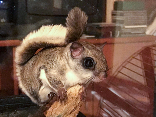 Photo of Rocky, a flying squirrel (Glaucomys volans)