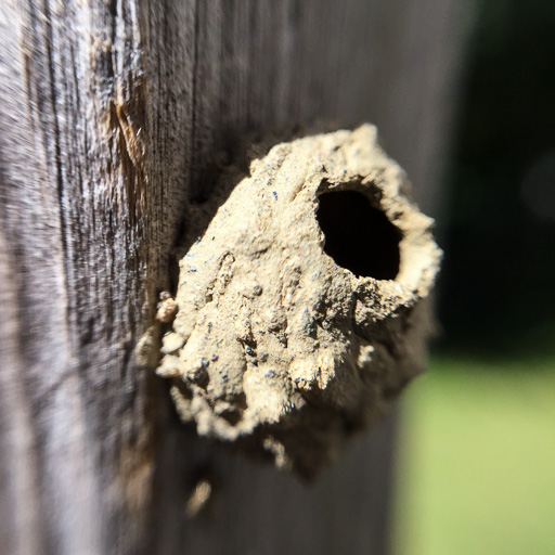 Close-up photo of an empty potter wasp (Eumenes sp.) nest